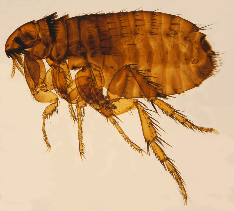 parazita kozni és kocek